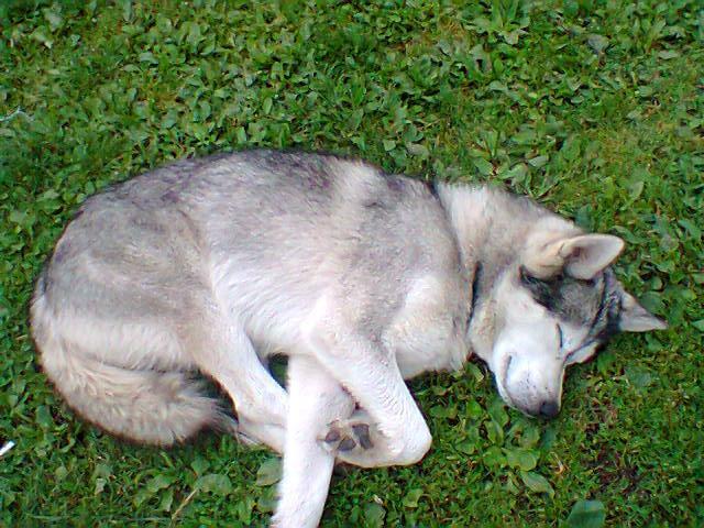 znaleziony pies husky