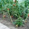 Uprawiał konopie z pomidorami